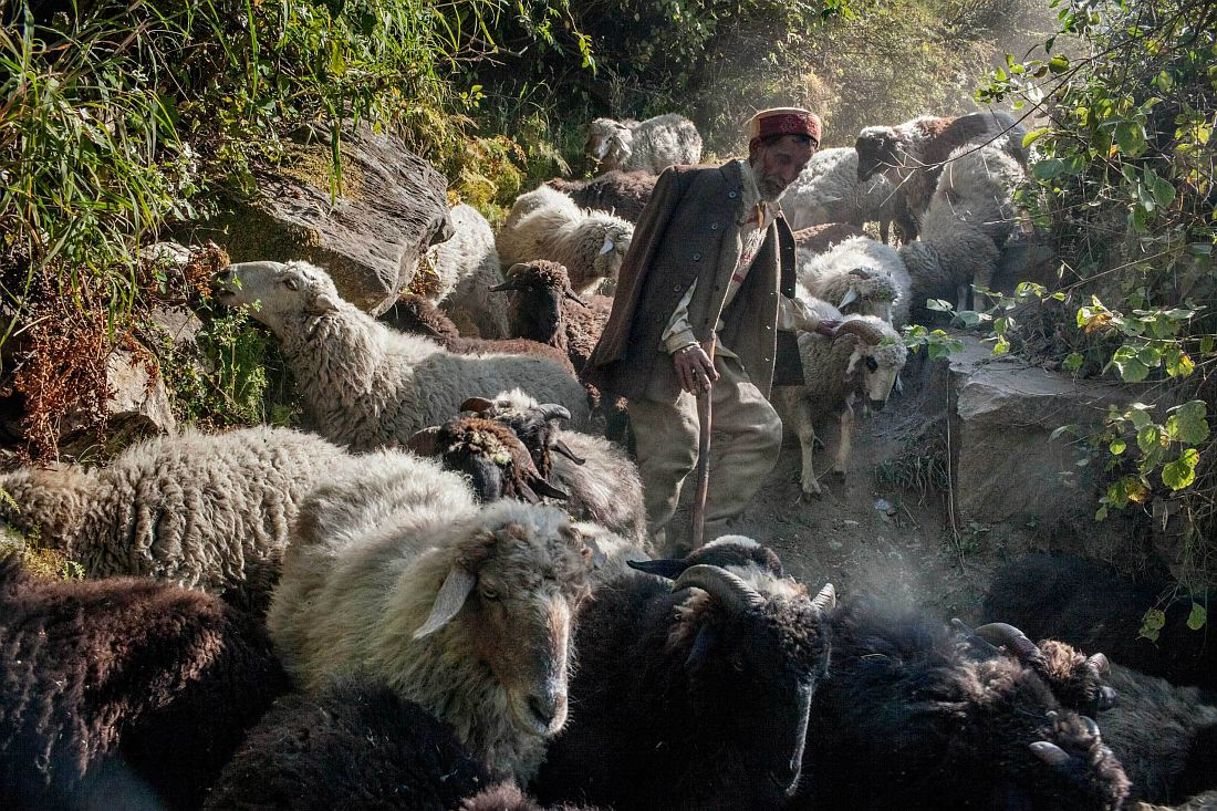 A shepherd walks his 200 and more cattle herd downhill as winter is approaching. It will take him up to three weeks to reach the valley, where he will wait for the spring. Wool is a profitable yet hard business, yet the only alternative to cannabis