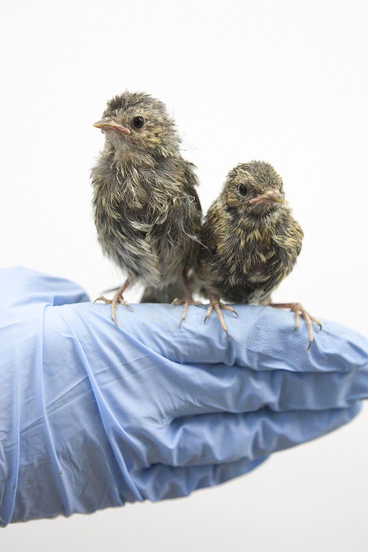 Heggenmusjes bij Vogelklas Karel Schot. © Anjes Gesink