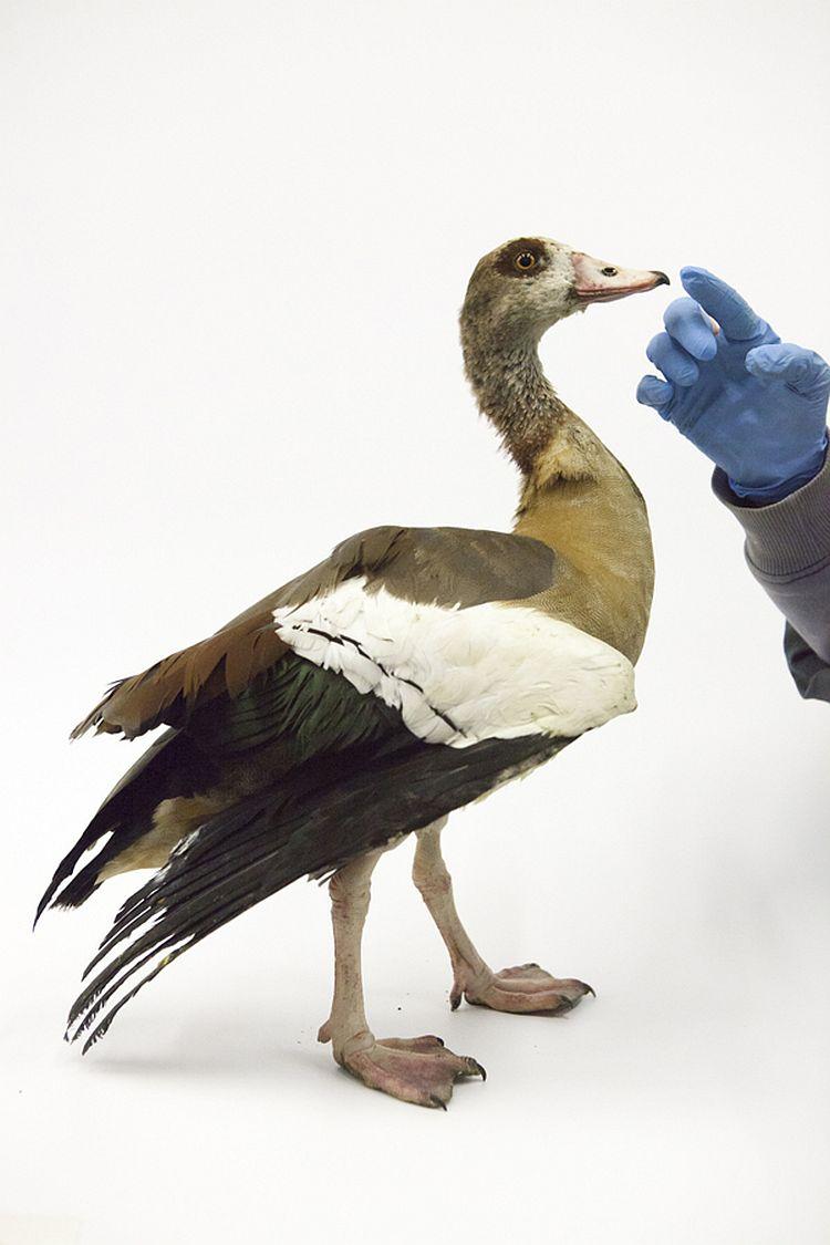 Vogelklas Karel Schot, Nijlgans met bevriezingsverschijnselen op poten