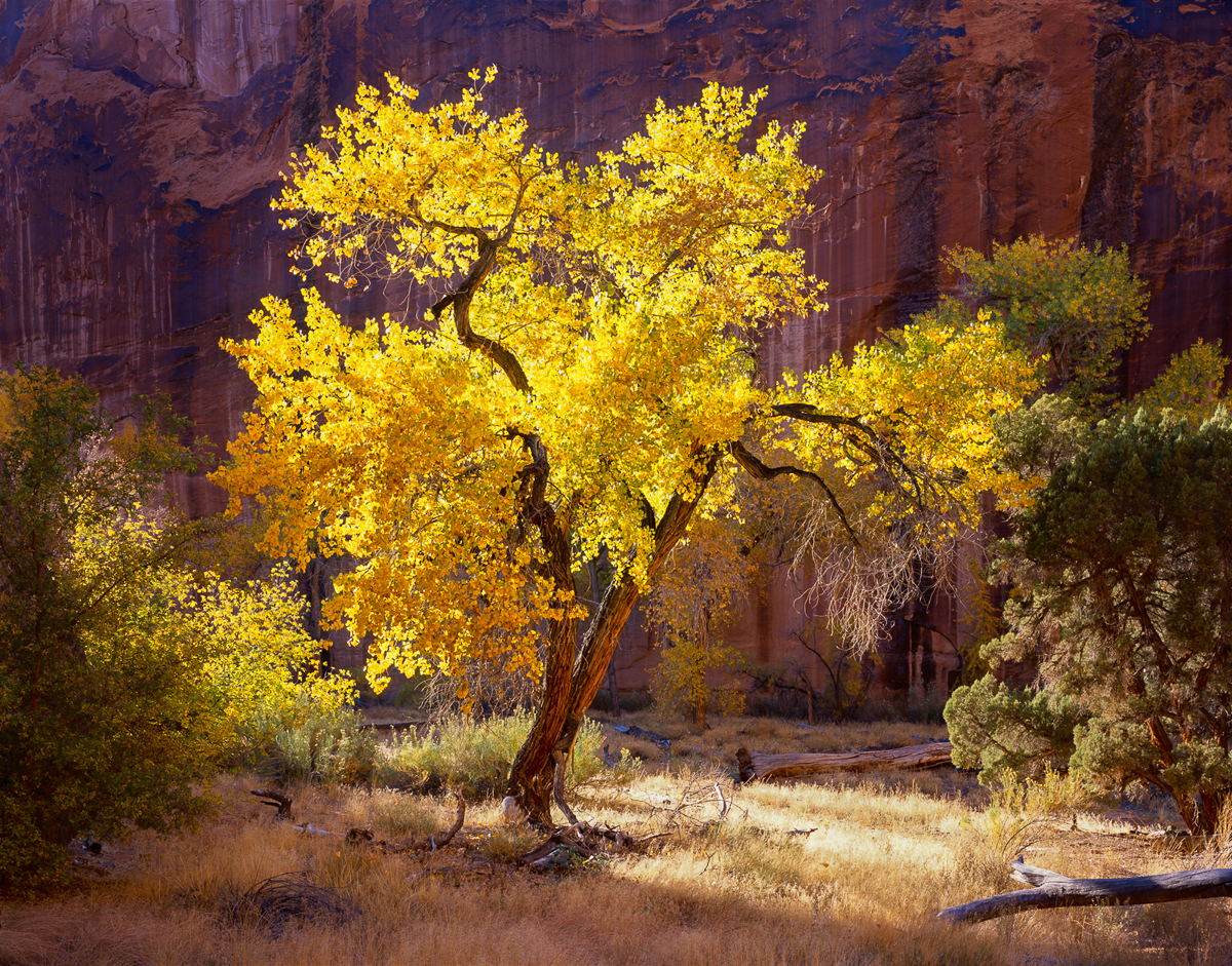 Glowing Cottonwood deep in Coyote Gulch, Utah