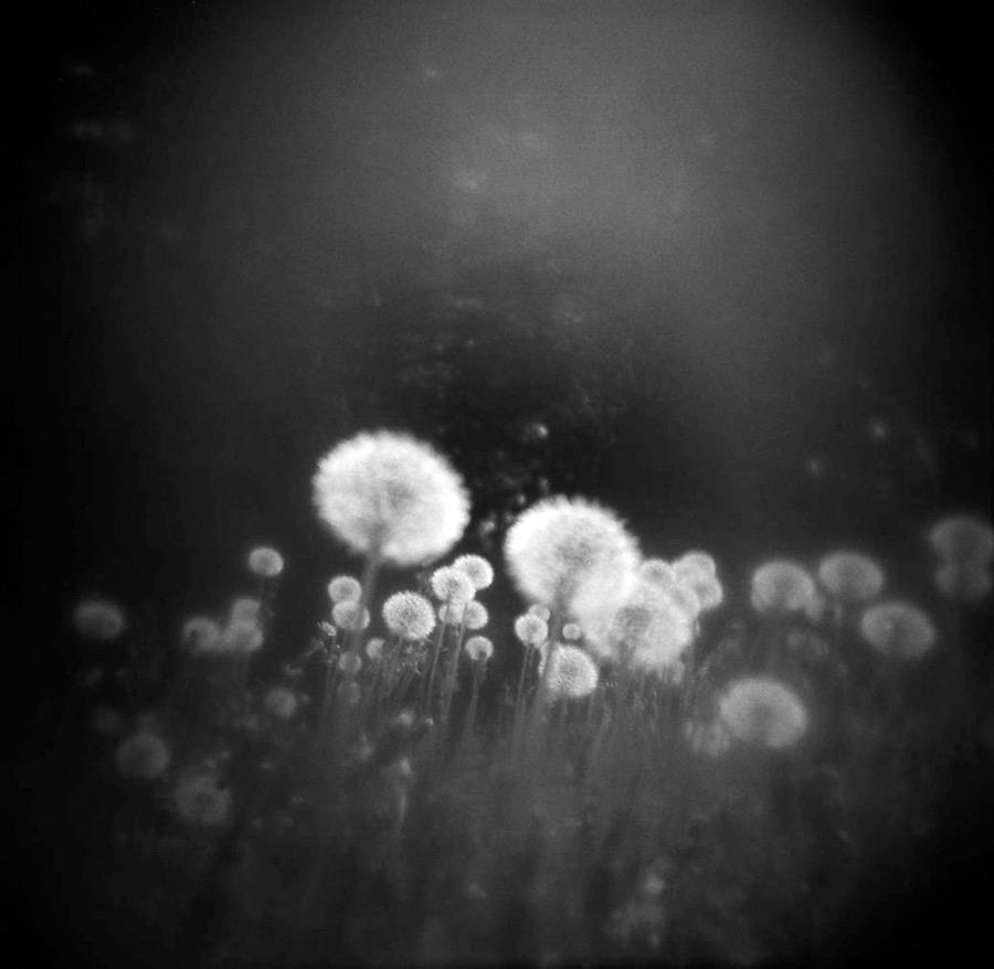 Dandelions by Helene Barrette