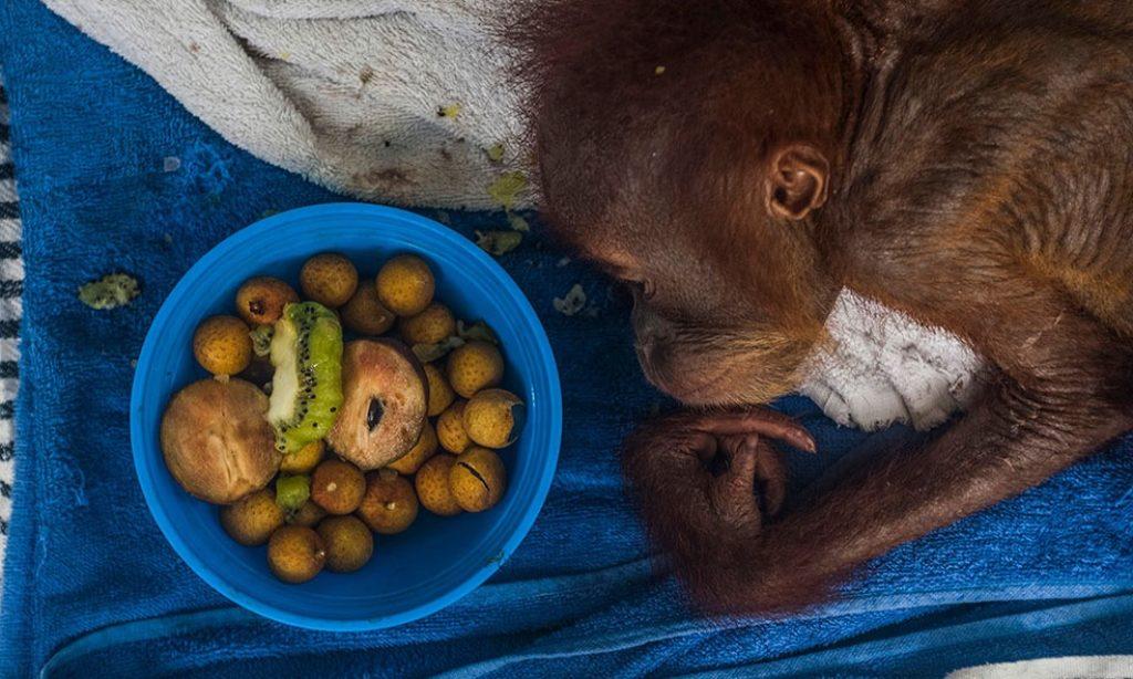 Sutanta Aditya: Human – Wild Sumatran Orangutan Conflicts